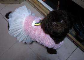寻狗启示,重庆沙坪坝区重金寻回我家妹妹!,它是一只非常可爱的宠物狗狗,希望它早日回家,不要变成流浪狗。