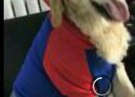 寻狗启示,寻狗,浅色金毛犬。较胖,热情。,它是一只非常可爱的宠物狗狗,希望它早日回家,不要变成流浪狗。