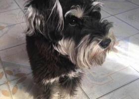 寻狗启示,临沂郯城县银都停车场酬谢五千元寻找雪纳瑞,它是一只非常可爱的宠物狗狗,希望它早日回家,不要变成流浪狗。
