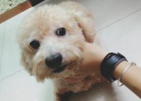 广州市海珠区【南田路】附近丢失一只比熊犬