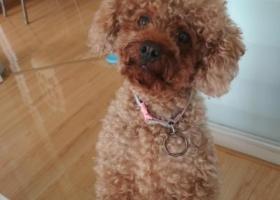 寻找在连江丢失的浅棕色泰迪狗