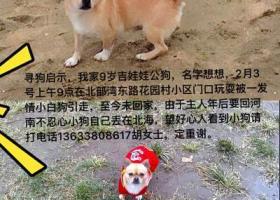 寻狗:黄色吉娃娃无尾窜
