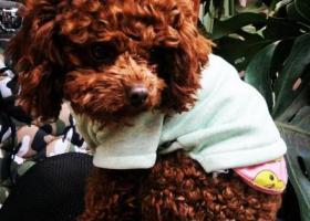 寻找在梁家河车场附近丢失的棕色泰迪狗