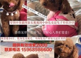寻狗启示,宁波市江北区樟树下苏家村酬谢五千元寻找泰迪,它是一只非常可爱的宠物狗狗,希望它早日回家,不要变成流浪狗。