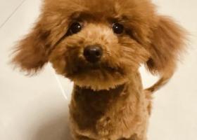 寻狗启示,玩具泰迪 有尾巴 狮子尾巴 苏州丢失,它是一只非常可爱的宠物狗狗,希望它早日回家,不要变成流浪狗。