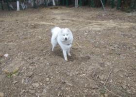 寻狗启示,寻狗启示,萨摩,母,2月26日在采莲路与元和路交叉口走失,它是一只非常可爱的宠物狗狗,希望它早日回家,不要变成流浪狗。