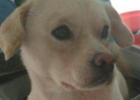 寻狗启示,在南开区西湖道丢失一直公田园狗,它是一只非常可爱的宠物狗狗,希望它早日回家,不要变成流浪狗。