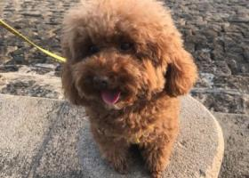 寻狗启示,青岛市市北区山东路嘉合新兴5岁泰迪丢失,它是一只非常可爱的宠物狗狗,希望它早日回家,不要变成流浪狗。