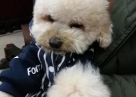 寻狗启示,2岁浅香槟色泰迪于过年期间当阳坝陵走丢(火车站右边向上一直走),它是一只非常可爱的宠物狗狗,希望它早日回家,不要变成流浪狗。