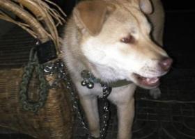 寻狗启示,绍兴市昌安街龙洲路寻狗,它是一只非常可爱的宠物狗狗,希望它早日回家,不要变成流浪狗。