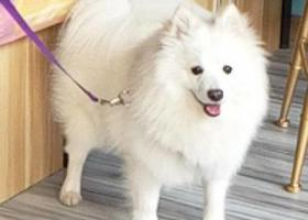 寻狗启示,无锡天一城附近丢失纯白博美一只,它是一只非常可爱的宠物狗狗,希望它早日回家,不要变成流浪狗。