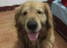 寻狗启示,青岛市李沧区沧台路附近见捡到一只金毛犬,它是一只非常可爱的宠物狗狗,希望它早日回家,不要变成流浪狗。