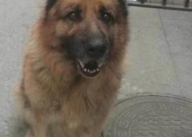 寻狗启示,寻德牧,8岁2018年2月27日晚在南开区南翠屏公园走失,重金酬谢,它是一只非常可爱的宠物狗狗,希望它早日回家,不要变成流浪狗。