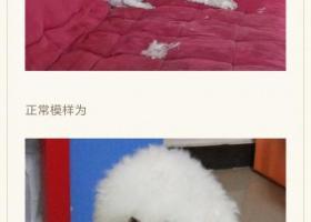 龙华民治-比熊-白色