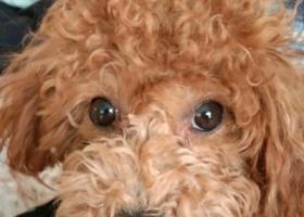 寻狗启示,高青的朋友帮忙找一下泰迪狗吧,它是一只非常可爱的宠物狗狗,希望它早日回家,不要变成流浪狗。