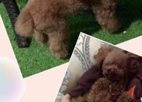 寻狗启示,金华市-市政府酬谢五千元寻找泰迪,它是一只非常可爱的宠物狗狗,希望它早日回家,不要变成流浪狗。