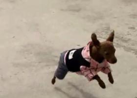 寻狗启示,泰迪一只,踢了毛,5个多月,,它是一只非常可爱的宠物狗狗,希望它早日回家,不要变成流浪狗。