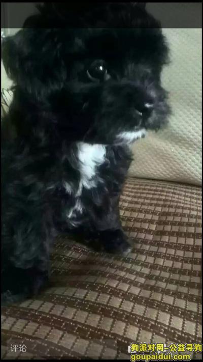 河池寻狗启示,寻找一只黑色一岁小泰迪,它是一只非常可爱的宠物狗狗,希望它早日回家,不要变成流浪狗。