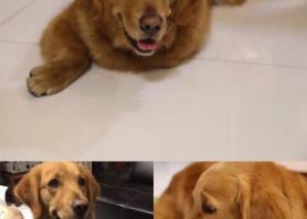 寻狗启示,无锡--东北塘镇石新路酬谢一万元寻找金毛,它是一只非常可爱的宠物狗狗,希望它早日回家,不要变成流浪狗。