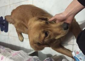 寻狗启示,乐清地区 石帆镇 丢失2岁金毛 急寻 必有酬谢,它是一只非常可爱的宠物狗狗,希望它早日回家,不要变成流浪狗。