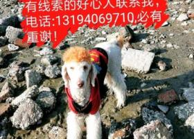寻狗启示,它叫年糕,巨型贵宾犬两岁多,2月17号下午六点半泉州云谷丢失,它是一只非常可爱的宠物狗狗,希望它早日回家,不要变成流浪狗。