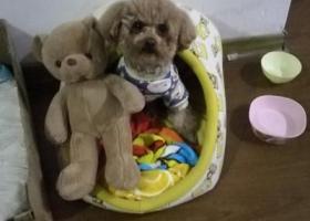 寻狗启示,苏州香城花园2区门口寻狗,泰迪一只,它是一只非常可爱的宠物狗狗,希望它早日回家,不要变成流浪狗。