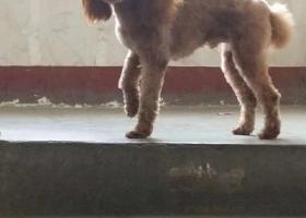 寻狗启示,狗狗走失在西市场保利中心顶,它是一只非常可爱的宠物狗狗,希望它早日回家,不要变成流浪狗。