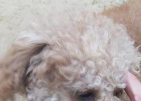 寻狗启示,啦啦啦啦啦啦啦啦啦,它是一只非常可爱的宠物狗狗,希望它早日回家,不要变成流浪狗。