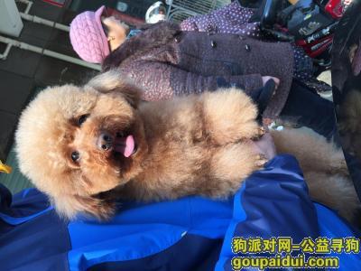 【连云港找狗】,连云港市重金寻狗,母泰迪犬,它是一只非常可爱的宠物狗狗,希望它早日回家,不要变成流浪狗。