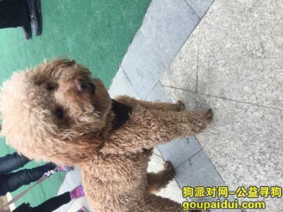 扬州寻狗主人,扬州捡到一只咖啡色泰迪,它是一只非常可爱的宠物狗狗,希望它早日回家,不要变成流浪狗。