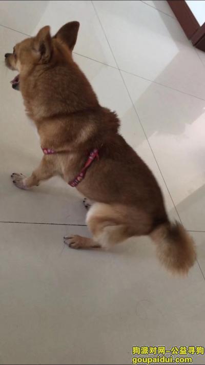 青岛找狗,平度寻狗,找到必有重谢!!!,它是一只非常可爱的宠物狗狗,希望它早日回家,不要变成流浪狗。