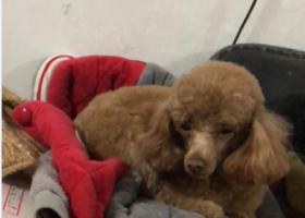 寻狗启示,北干道与人民路之间的劳动路上一只黄色泰迪从电动车跳下走丢,它是一只非常可爱的宠物狗狗,希望它早日回家,不要变成流浪狗。