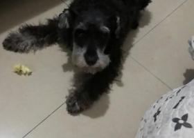 寻狗启示,昆山景枫嘉苑丢失一只黑色雪纳瑞,它是一只非常可爱的宠物狗狗,希望它早日回家,不要变成流浪狗。