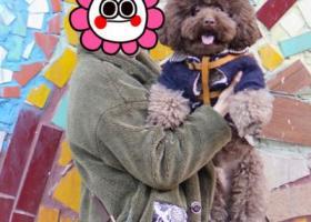 寻狗启示,急找元宵节在大坪虎歇路升伟中环广场跑丢的中型巧克力色泰迪弟弟,它是一只非常可爱的宠物狗狗,希望它早日回家,不要变成流浪狗。