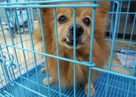 寻狗启示,大坪升伟广场捡到博美犬弟弟,找主人或领养。,它是一只非常可爱的宠物狗狗,希望它早日回家,不要变成流浪狗。