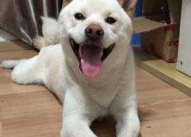 3.7宝安区留仙二路丢失一只白色柴犬