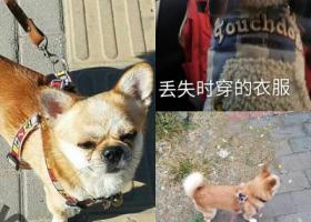 北京寻狗 寻黄色小狗  吉娃娃串狗 有人捡到狗吗