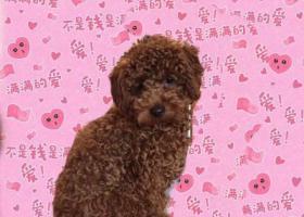 寻狗启示,寻棕色泰迪公狗,3月7日丢失于塔山市场附近,它是一只非常可爱的宠物狗狗,希望它早日回家,不要变成流浪狗。