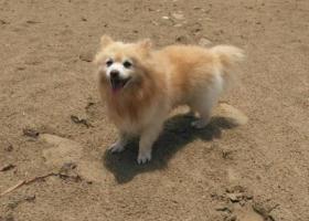 寻狗启示,汕头市金平区新美路金美花园一带不见博美犬,它是一只非常可爱的宠物狗狗,希望它早日回家,不要变成流浪狗。