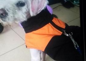 寻狗启示,找一条流浪狗,穿图中衣服,捡到者联系下,它是一只非常可爱的宠物狗狗,希望它早日回家,不要变成流浪狗。