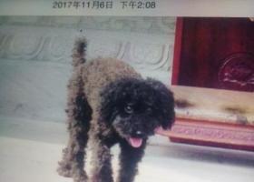 寻狗启示,1月22日观音桥金源不夜城附近走失黑色泰迪,它是一只非常可爱的宠物狗狗,希望它早日回家,不要变成流浪狗。