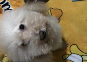 寻狗启示,有偿寻狗:白色公泰迪犬,它是一只非常可爱的宠物狗狗,希望它早日回家,不要变成流浪狗。