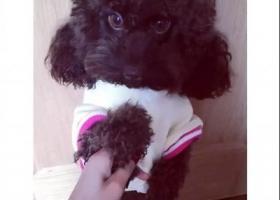 寻狗启示,寻爱狗!!!!颜色巧克力色,于2月初走丢,它是一只非常可爱的宠物狗狗,希望它早日回家,不要变成流浪狗。