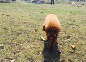 寻狗启示,闽侯上街镇泰迪走失寻回!,它是一只非常可爱的宠物狗狗,希望它早日回家,不要变成流浪狗。