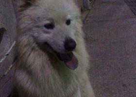 寻狗启示,温州娄桥人民医院新院区萨摩耶,它是一只非常可爱的宠物狗狗,希望它早日回家,不要变成流浪狗。