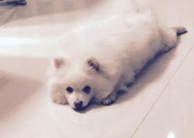 寻狗,三月八号,在郑州远大理想城北门丢失一只白色博美犬,七岁。