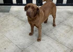 寻狗启示,金牛区洞子口捡到一只拉布拉多,巧克力色,它是一只非常可爱的宠物狗狗,希望它早日回家,不要变成流浪狗。