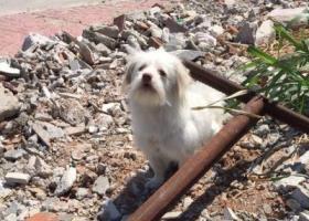 寻狗启示,拜托各位好心人,它是一只非常可爱的宠物狗狗,希望它早日回家,不要变成流浪狗。