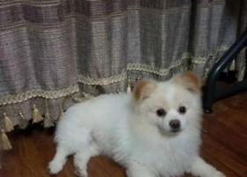 寻狗启示,白色博美那那快回家吧,它是一只非常可爱的宠物狗狗,希望它早日回家,不要变成流浪狗。