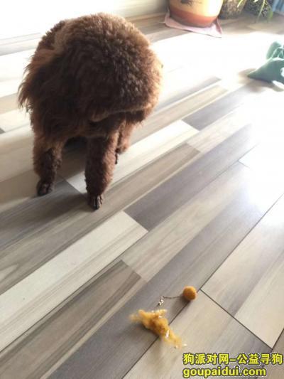 诸城丢狗,寻找泰迪小花,体型比较大,眼睛两边有两根白睫毛,它听见叫小花必有反应~13210211234,它是一只非常可爱的宠物狗狗,希望它早日回家,不要变成流浪狗。